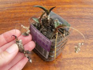 greening bulbs in a container, and one bulb with exposed new-looking roots