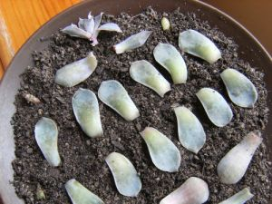 rows of leaves on a plate of soil mix