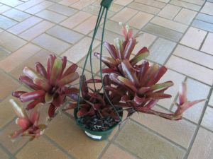 bromeliad in a hanging basket sitting on the ground