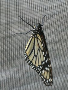 butterfly hanging on a window insect-screen